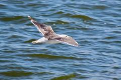 Glaucous Gull (Piedmont Fossil) Tags: maryland chesapeake bay bird seagull wildlife