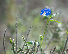 Dayflower (jim_mcculloch) Tags: 1120 wildflowers