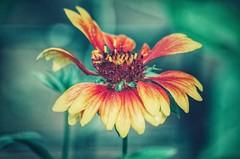 you light up the fire in my heart (***étoile filante***) Tags: flower blume colours colourful emotions poetic love liebe nature natur expressive beauty macro details bokeh bokehlicious pentax nahaufnahme closeup light licht