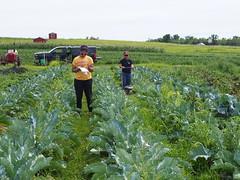 P7180041 (GrossmanLabUMN) Tags: hfhl hafa cauliflower covercrop clover gabriella ka mow people