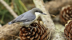 Pygmy Nuthatch (Bob Gunderson) Tags: bercutarea birds california goldengatepark northerncalifornia nuthatches pygmynuthatch sanfrancisco sittapygmaea