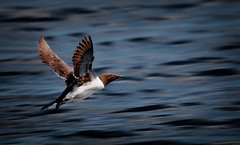 Uria aalge (Nickerzzzzz - Thanks for stopping by :)) Tags: ©nickudy nickerzzzzz theartofphotography wwwdigittaliacom canoneos70d ef100400mmf4556lisiiusm photograph photography bird beak wildlife wings nature feathers uriaaalge guillemot auk rspb farneislands innerfarne bif flight animal outdoor water sea img0041