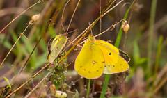 7K8A7587 (rpealit) Tags: scenery wildlife nature weldon brook management area orange sulphur butterfly