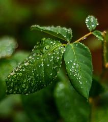 Spring Rain-1451 (Grumps52) Tags: rain spring flowers rose d7100 nikon outdoors leaf water green yellow
