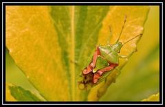 Red Cross Shield Bug (Elasmostethus cruciatus) ??? (NikonShutterBug1) Tags: nikond7100 tokina100mm insect entomology nature wildlife bokeh spe smartphotoeditor closeup macro fauna bug redcrossshieldbug elasmostethuscruciatus