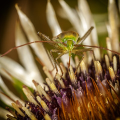 Lunch (JLM62380) Tags: insect insecte bug flower antenne nature animal