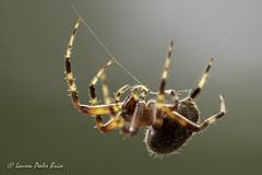 Orb Weaver (Laurie-B) Tags: spider arachnid web animal focusstacking orange black brown scary halloween explored orbweaver 2018 dpca