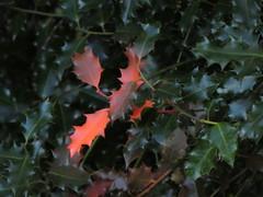 UK - London - Near Hampstead - Hampstead Heath - Holly leaves - Autumn colour (JulesFoto) Tags: uk england london hampsteadheath hampstead