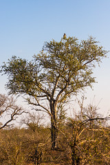 Martial Eagle in the Kruger Park (George Bewsher) Tags: nikond610 nikon kruger park krugernationalpark wildlife nature nikon70300mmafp telephoto safari travel wanderlust backpacker intrepidtravel