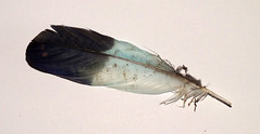 Lilac-breasted roller (Coracias caudatus) wing feather inside (shadowshador) Tags: lilac breasted roller coracias caudatus wing feather neomura eukaryota opisthokonta holozoa filozoa animalia eumetazoa bilateria deuterostomia chordata vertebrata tetrapoda tetrapod tetrapods amniota diapsida archosauria archosauromorpha aves neornithes neognathae neoaves inopinaves telluraves afroaves coraciimorphae eucavitaves cavitavespicocoraciae picodynastornithes coraciiformes coraciidae taxonomy scientific classification biology ornithology plumology bird birds blue