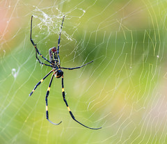 GreenBackgroundSpidey (mehtab94) Tags: nature spider spiders summer fall wildlife natgeo scary halloween insect web cobweb colors garden