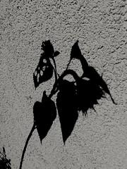 Shadow on the wall (PinoyFri) Tags: schatten shade 影子 ombra anino ombre 影 그림자 schaduw sunflower sonnenblume shadow hauswand housewall