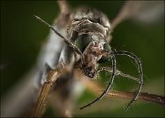 Macro Crane Fly 2 (Darwinsgift) Tags: ultra macro crane fly daddy long legs laowa 25mm f28 255x focus stacking nikon d850