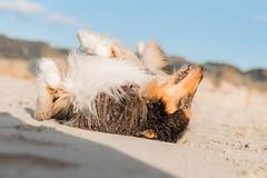39/52 Leia & enjoy the sand (shila009) Tags: leia perro dog roughcollie portrait rolling sand arena playa beach natural animal autumm otoño happy enjoy