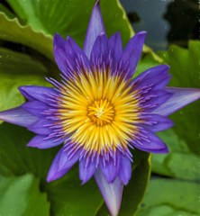 purple water lilly (Steve4343) Tags: steve4343 nikon d70s trail forest red green blue yellow orange white clouds sky beautiful autumn beauty county lake cloud colorful woods garden gardens happy leaves rocks wildlife landscape mountain tree trees grass water wood summer spring macro flower flowers black northern thailand purple lilly