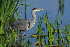 K32P6381c Grey Heron, Leighton Moss, September 2018 (bobchappell55) Tags: wild nature wildlife rspbleightonmoss lancashire bird greyheron ardeacinerea