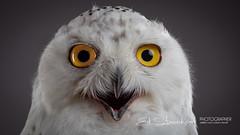 Sneeuwuil   Bubo scandiacus   Snowy owl (Ed Steenhoek) Tags: bird birdsofprey bubo buboscandiacus hornedowl snowyowl strigidae trueowl