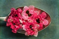 manuka (borealnz) Tags: manuka flowers teaspoon macromondays remedy honey herbal natural newzealand macro healthy