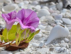 On the Sand at Cape Romano (Mike Woodfin) Tags: mikewoodfin mikewoodfinphotography photo picture photography photograph photos photoshop pretty fuji florida fl fishing flower floral flowers nikon nature canon contrast color cool county beautiful beach shell purple lavender coastal coast caperomano naples beachcombing shelling shells seashells white purpleandwhite