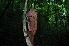 IMG_0901 (X4PPQKLUUFG5QNNMUCRV4KROFX) Tags: gonocephalus doriae sarawak borneo malaysia reptile agamid lizard jungle herping