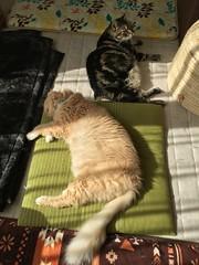 Warming Up (sjrankin) Tags: 13october2018 edited animal cat livingroom kitahiroshima hokkaido japan norio tigger zabuton mat cushion sun sunlight sunbeam warm hdr