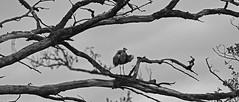 Héron gris (Yves.Henchoz) Tags: nikond5 tamron150600 nature suisse switzerland swiss svizzera s oiseau noiretblanc blackwhite