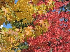 DSCN6401 (keepps) Tags: switzerland suisse schweiz geneva genève fall autumn tree