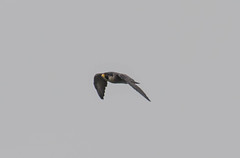 7K8A8222 (rpealit) Tags: scenery wildlife nature state line lookout peregrine falcon bird