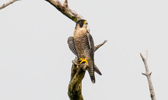 7K8A8295 (rpealit) Tags: scenery wildlife nature state line lookout peregrine falcon bird