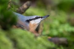 Boomklever-7756 (lucvereecken) Tags: glenn kalmthout bosvogels oktober