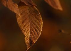 Morning Dew on Leaf_66 (Scott_Knight) Tags: leaf leaves minnesota canon scott knight dew outdoor nature
