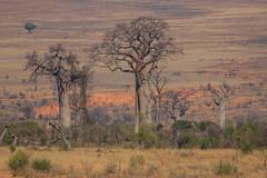 Baobab (bohnengarten) Tags: madagaskar madagascar eos 80d insel baum tree affenbrotbaum adansonia baobab