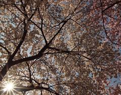 Springtime (bobbykwibus) Tags: sun zon spring lente blossom bloesem flower bloemen wit white tree boom