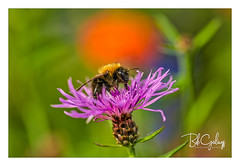 Purplelicious (Bob Geilings) Tags: bumblebee flower honey macro flora bokeh closeup background color