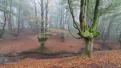 En Otzarreta (mabarror) Tags: otzarreta hayas nieblas paísvasco mabarror manuelbarragánrodríguez otoño bosques paisvasco
