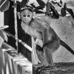 Monkey see, Monkey do! (Bhuvan N) Tags: street streetphotography streetportrait indianstreet blackandwhite monochrome nikon tamron india monkey monkeys animal animals outside portrait naturephotography bw eyes
