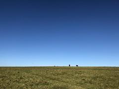 A Cows Life (billybrison) Tags: field sun horizonoverland grass prairie ruralscene meadow sunrise pasture cultivatedland farm copse cow