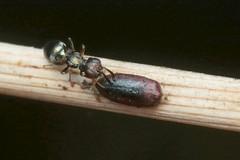1/5 - Laying ?? - 28 IX 2018 (el.gritche) Tags: hymenoptera france 40 garden eupelmidae eupelmus vesicularis barai female laying