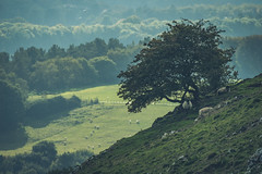 How High (JWB Creative Life) Tags: landscape sheep staffordshire weaver hills tree farm agriculture green