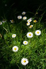 _DSF01682 (Daniel Menzies) Tags: daisy flower m42 plant grass bokeh dof takumar supertakumar35mmf35 fujixe1