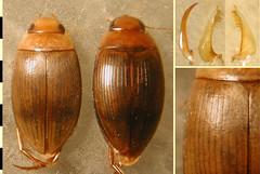Copelatus chloroticus Régimbart, 1899:3. Females, heteromorphic (striolate) form (left) and typical form (right), habitus, dorsal. (Wolfram Sondermann) Tags: colombia putumayo mocoa taxonomy:order=coleoptera adephaga dytiscoidea taxonomy:family=dytiscidae copelatinae taxonomy:binomial=copelatuschloroticus females habitus dorsal