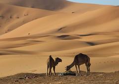 Camels (Explored) (jmaxtours) Tags: camels sahara moroccan