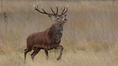 Ennobled (Hammerchewer) Tags: reddeer deer stag wildlife animal rut outdoor