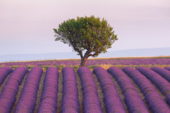 End of the Lavender (catchapman44) Tags: agriculture canon canon5dmarkiii countryside fields france landscape lavender lines nature outdoors photography plants provence purple season serene summer sunrise trees valensole