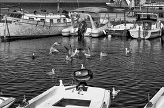 Feast (roksoslav) Tags: postira brač dalmatia croatia 2018 nikon d7000 nikkor50mmf18d seagull galeb