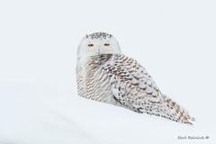 First snow (Earl Reinink) Tags: snow owl snowyowl predator earl reinink earlreinink nature wildlife eyes zitaedudza