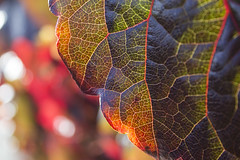 CrinkledLeaf (tiki.thing) Tags: colours leaves leaf macro macromonday nature natural light shadows veins crinkled creased wrinkled red orange green plant closeup bokeh blue autumn crinkledwrinkledfoldedorcreased