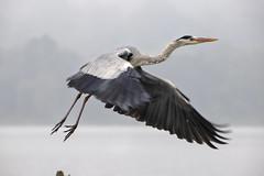 Grey Heron (Kev Gregory (General)) Tags: grey heron bird fly flight launch beak bill large legd kabini river india kev gregory canon 6d mark ii ornathology water fresh natural
