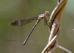 Whitewater Rockmaster Damselfly ( Diphlebia lestoides) - Teneral Male (Ant & Steph) Tags: wanderingeagles odonata dalrymplecreek sequeensland teneral damselfly arrowheadrockmaster
