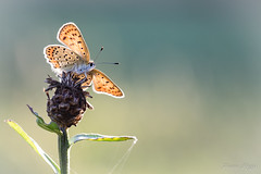 """Planeur Cuivré"" (regisfiacre) Tags: lycaena tityrus cuivré fuligineux papillon butterfly schmetterling farfalle insect insecte insekt bug bugs ailes wings nature sauvage wild wildlife macro macrophoto macrophotography macrophotographie canon 5div mark iv 4 plein format full frame sigma 150mm apo ex dg os hsm moselle france"